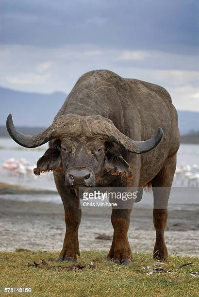 Cape Water Buffalo Stock Photo Vertical - Lake Nakuru, Kenya