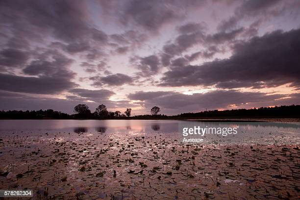Cape water lilies Nymphaea caerulea in pond at dusk Casino New South Wales Australia