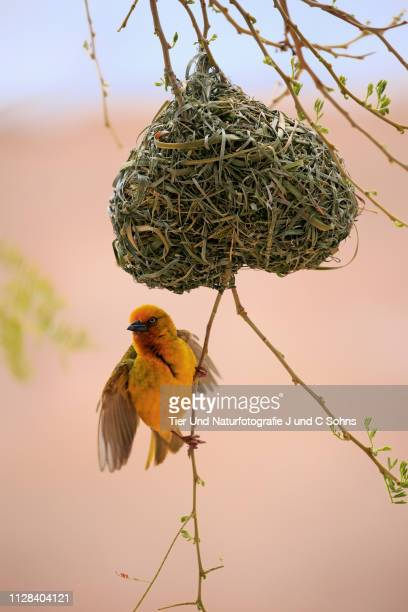 cape weaver, (ploceus capensis), adult male courting at nest, klein karoo, western cape, south africa, africa - klein bildbanksfoton och bilder