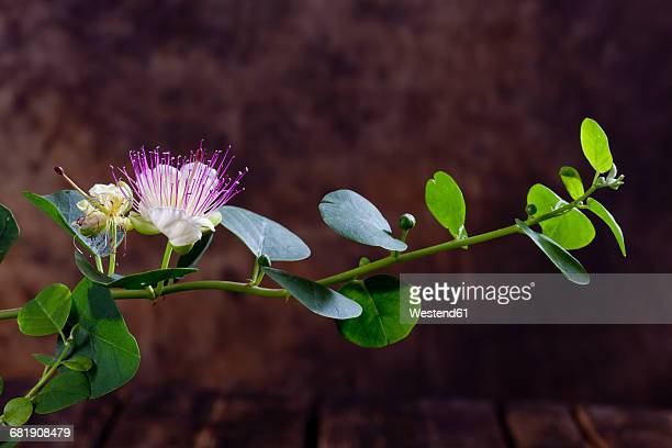 Caper bush with flower, Capparis spinosa