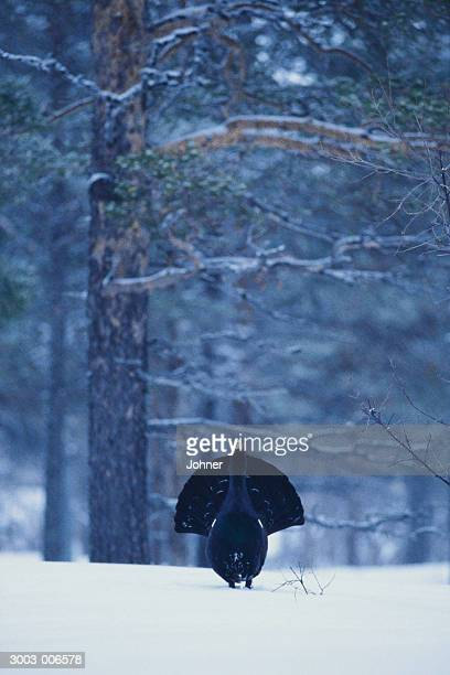 Capercaillie and Trees