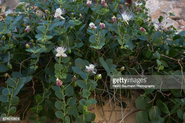 capers in bloom in monemvasia, peloponnese, greece - heinz baumann photography stock-fotos und bilder
