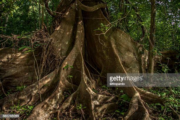 Capirona jungle tree in the amazon