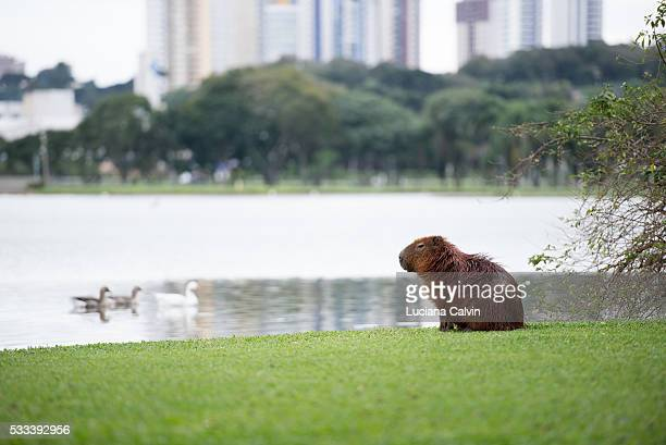 capivara looking over cityscape in barigui park curitiba, brazil - capybara stock pictures, royalty-free photos & images