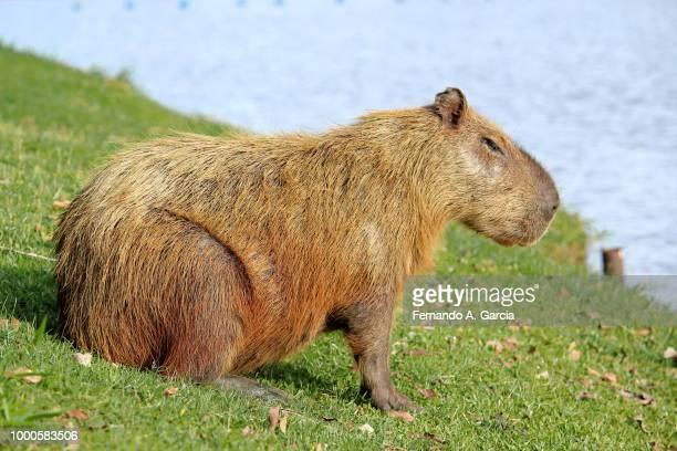 capivara - parque da represa de s. j. do rio preto - capybara stock pictures, royalty-free photos & images
