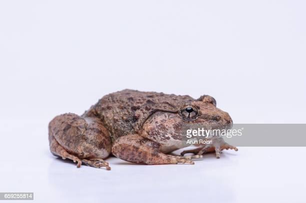 Capped Frog, Rhinnoceros Frog - Limnonectes gyldenstolpei
