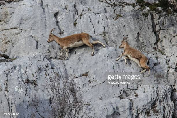 Capra Aegagruses which are on the Red List of Threatened Species of International Union for Conservation of Nature climb a mountain in Antalya Turkey...