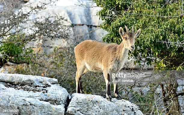 Capra ibex at sunset