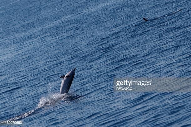 Capraia island dolphins Tyrrhenian Sea Tuscany Italy Europe