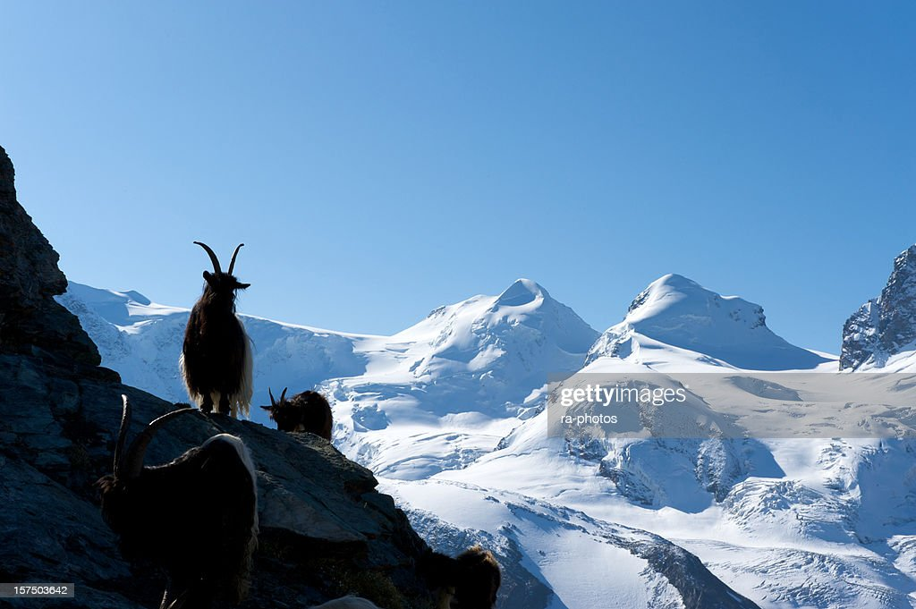 Capricorn in the Swiss mountains : Stock Photo