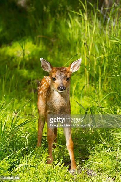 captive black-tailed deer (odocoileus hemionus) fawn at the alaska wildlife conservation center in summertime - cerbiatto foto e immagini stock