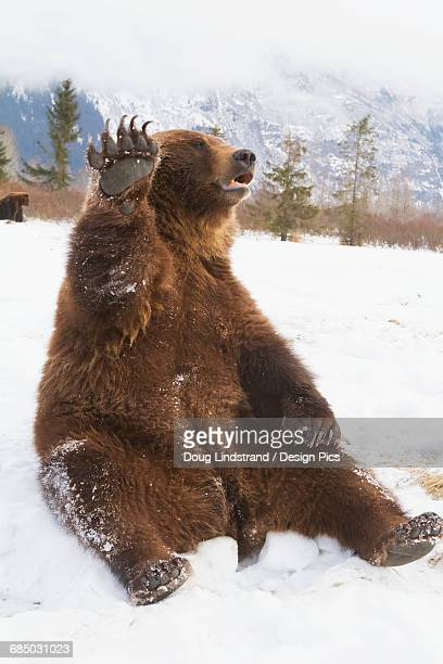 Captive brown bear (ursus arctos) sitting in snow and high fiving at the Alaska Wildlife Conservation Center in winter