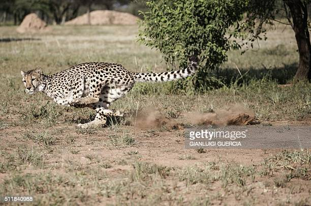 A captive cheetah performs a mock run to keep up with the hunting instinct in an enclosure at the Cheetah Conservation Fund in Otjiwarongo Namibia on...