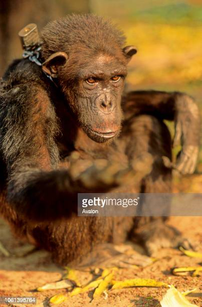 Captive Chimpanzee at Luna Park in Yaounde Cameroon begging for food Date 250608