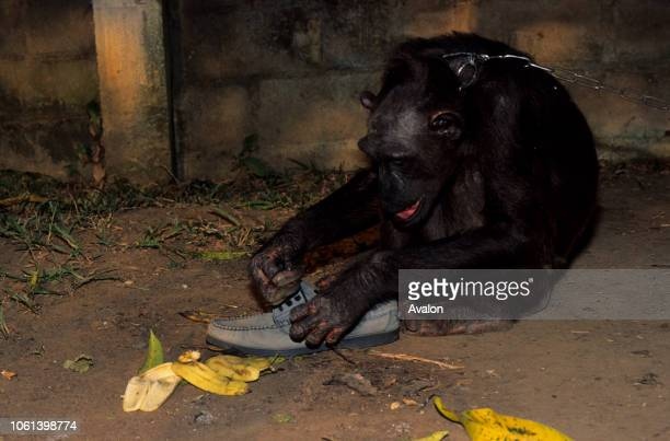 Captive Chimpanzee held at Luna Park outside Yaounde playing with shoe taken from tourist Cameroon Date