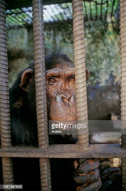 Captive Chimpanzee orphan at Kinshasa Zoo Democratic Republic of Congo Date