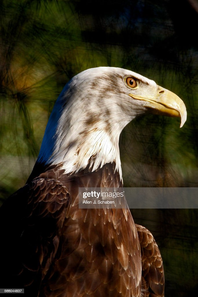 A captive female Bald Eagle looks out of it's enclosure at sunset of the Orange County Zoo's captiv : News Photo