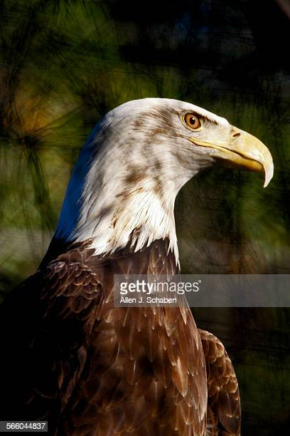 A captive female Bald Eagle looks out of it's enclosure at sunset of the Orange County Zoo's captive eagle program where a wild Bald Eagle has been...