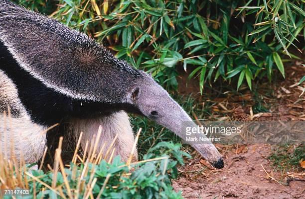 captive giant anteater (myrmecophaga tridactyla), brazil - anteater - fotografias e filmes do acervo