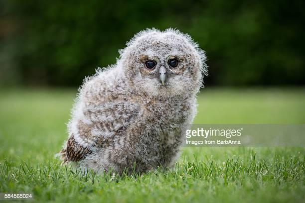 Captive Juvenile Tawny Owl (Strix aluco)