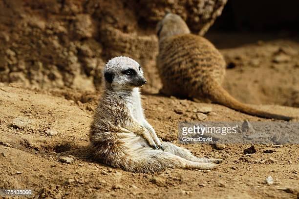 Captive Meerkat Resting