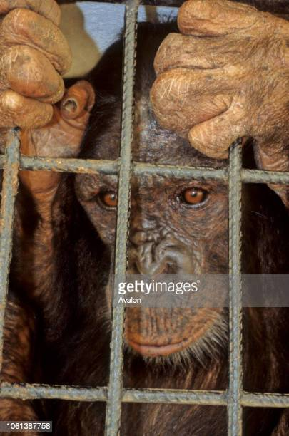 Captive orphaned Chimpanzee at Kisangani Zoo Central Democratic Republic of Congo Date