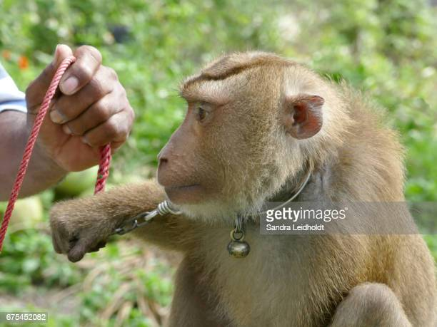 Captive Pigtailed Macaque with Trainer, in Ko Samui, Thailand