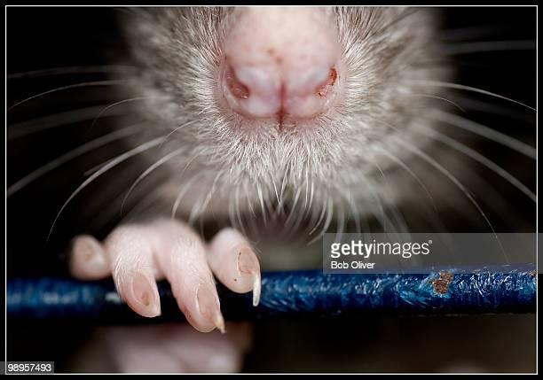 captive rat - rat stock photos and pictures