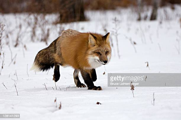 captive red fox, vulpes vulpes. walking in snow in december. northern minnesota. usa - 北 ストックフォトと画像