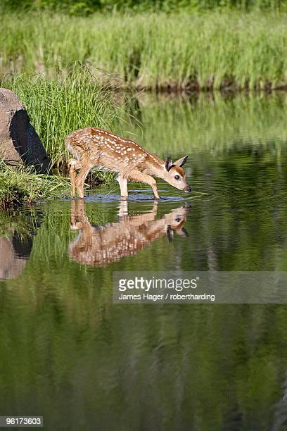 captive whitetail deer (odocoileus virginianus) fawn and reflection, sandstone, minnesota, united states of america, north america - fawn stock photos and pictures