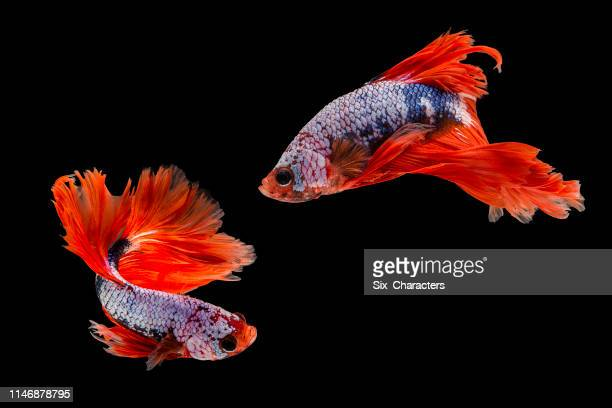 capture the moving moment of siamese fighting fish, two betta fish isolated on black background - fish stock pictures, royalty-free photos & images