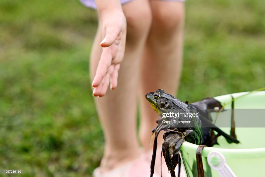Captured frog being prevented from escaping a bucket by young girl's hand : Stock Photo