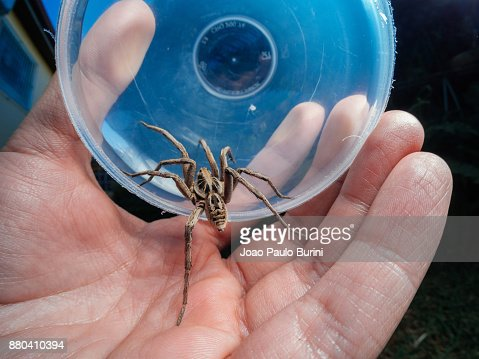 Capturing a wolf spider with a cup