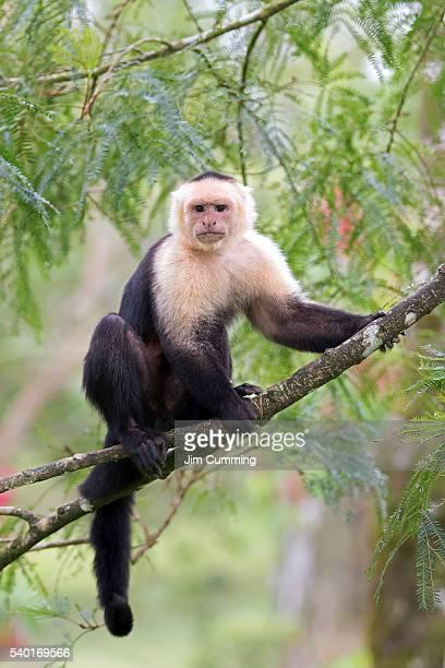 capuchin monkey (cebus capucinus) costa rica - mono capuchino fotografías e imágenes de stock