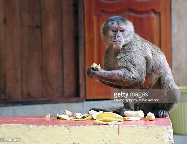 capuchin monkey eating bananas - mono capuchino fotografías e imágenes de stock