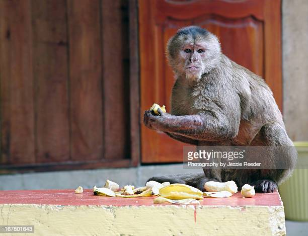 Capuchin monkey eating bananas