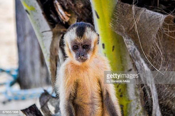 capuchin monkey found in lencois maranhenses national park, brazil - maranhao state stock pictures, royalty-free photos & images