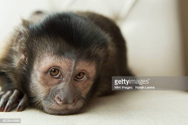 a capuchin monkey in a bedroom, lying on an upholstered chair, looking forlorn. - mono capuchino fotografías e imágenes de stock