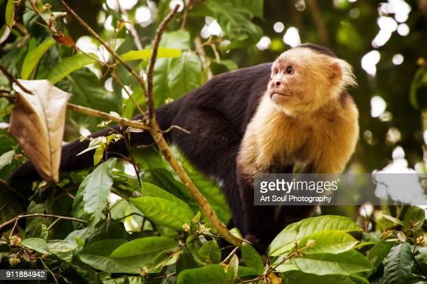 capuchin monkey in a tree - mono capuchino fotografías e imágenes de stock