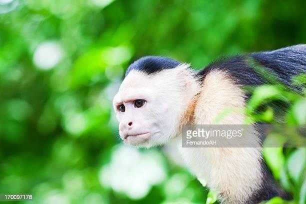 Capuchin Monkey in the RainForest