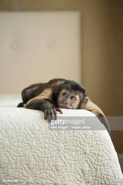 a capuchin monkey lying on a bed in a domestic home. - mono capuchino fotografías e imágenes de stock