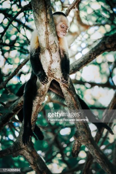 capuchin monkey lying on a tree - iacomino costa rica foto e immagini stock