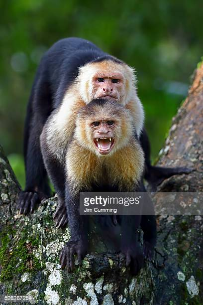 Capuchin monkey photobomb