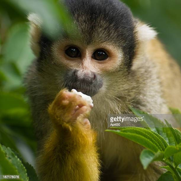 mono capuchino - mono capuchino fotografías e imágenes de stock