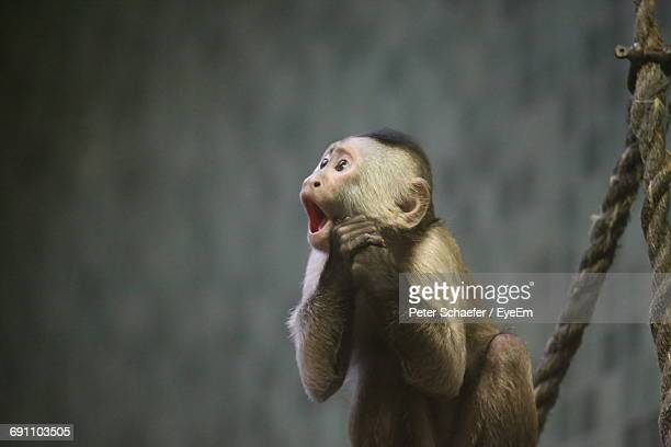 capuchin monkey screaming while sitting by rope - capuchin monkey stock pictures, royalty-free photos & images