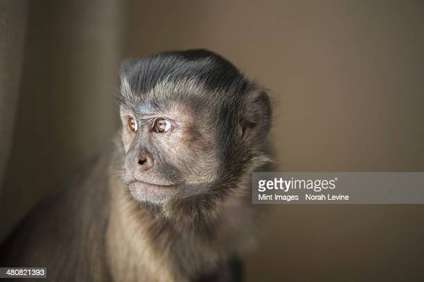 a capuchin monkey seated, head and shoulders.  - capuchin monkey stock pictures, royalty-free photos & images