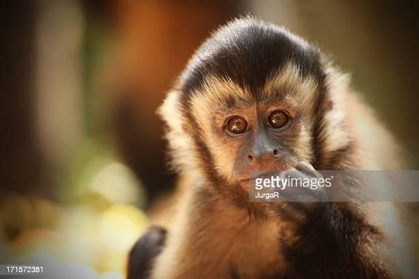 capuchin monkey (sapajou), south africa - capuchin monkey stock pictures, royalty-free photos & images