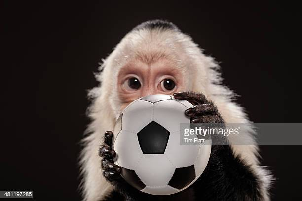 Capuchin monkey studio portrait