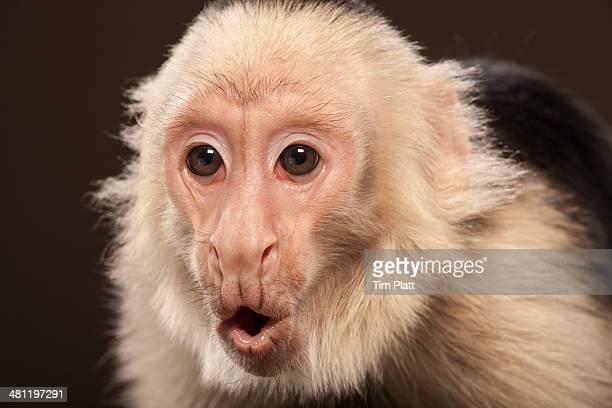 capuchin monkey studio portrait - mono capuchino fotografías e imágenes de stock