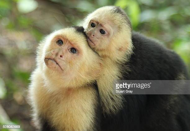 Capuchin monkey with baby on back, Costa Rica